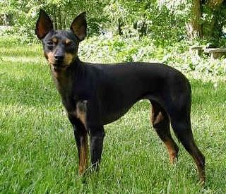 English Toy Terrier (Black & Tan)