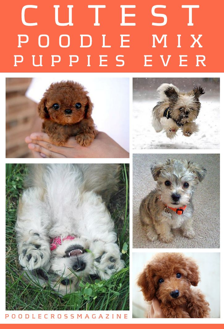 Cutest poodle mix puppies ever! )