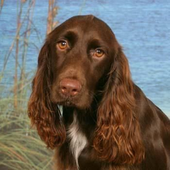 Field Spaniel..i just wa€nt 2 kiss and cuddle him 4 ever..peace be with u my liver colored one