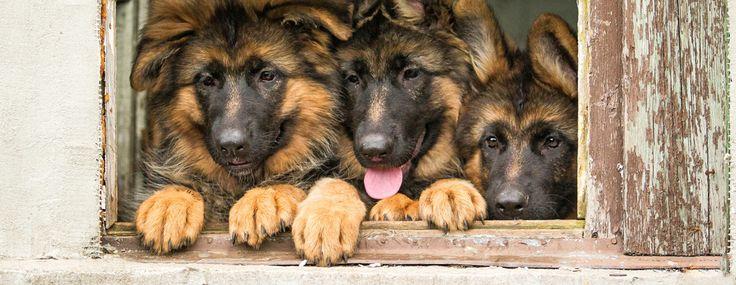 Las 10 razas de perros más populares.
