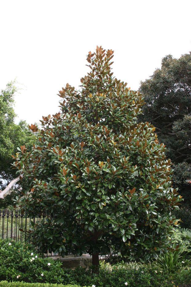 Magnolia Grandiflora Exmouth Plants Trees Garden