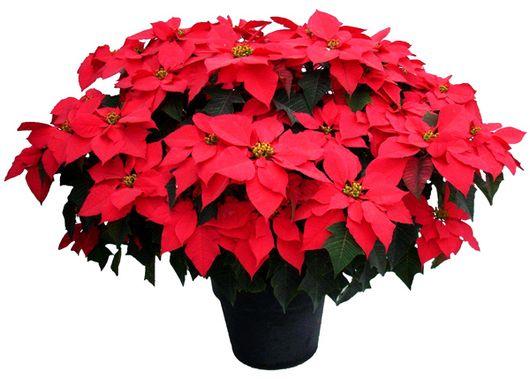 La flor de Nochebuena, también conocida como Guacamayo en Guatemala, Corona de los Andes en Chile y Perú, Flor de Navidad en Venezuela y Estrella Federal en Argentina, es la planta símbolo de la Navidad gracias a México. Se cultiva en abundancia en d