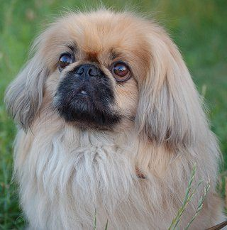 This is a Pekingese I used to have one when I was growing up his name was Smokey  what a love. Memories