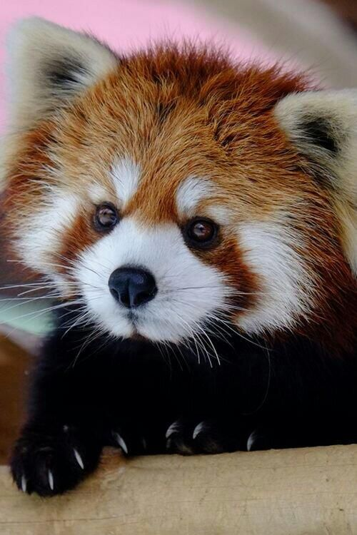 Dis haz been a long time in captivity - DONTS get any ideas of keepin me fer a #pet ! #red panda