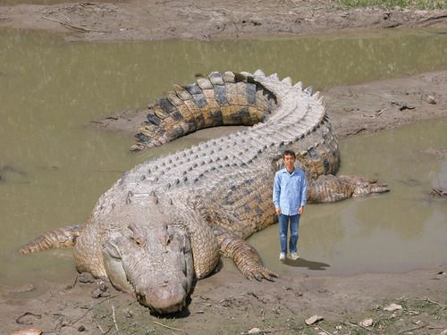 Crocodylus porosus.イリエワニ現生の爬虫類の中では最大級の一種であり、全長5-7m