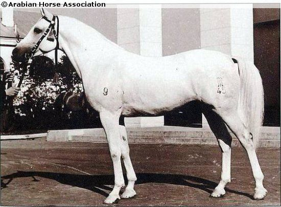 Negatiw. Born in 1945 in Tersk stud, Soviet Union. Later imported to Poland. Sire Naseem GB, dam's sire Enwer Bey PL