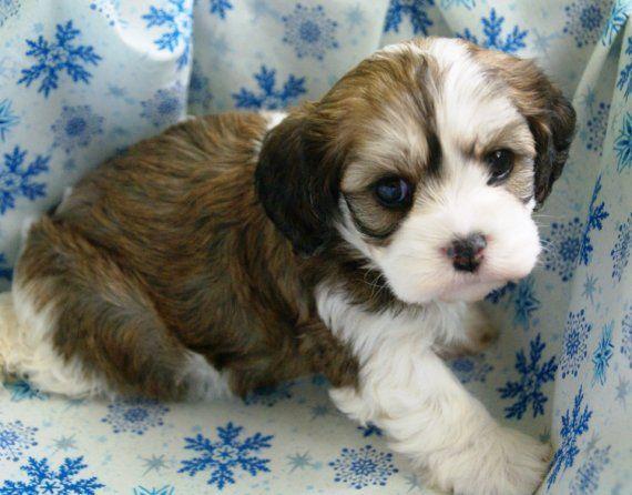 Harper A Cavachon Puppy Cavachon Cavachon Puppies Puppies