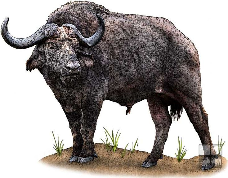 Line Drawings Of African Animals : 52 best illustrations of african mammals images on pinterest