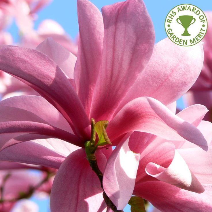 pink magnolia flower deep - photo #35