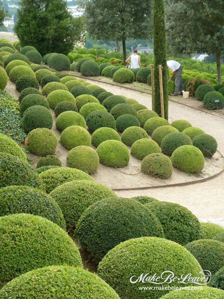 Spherical boxwoods