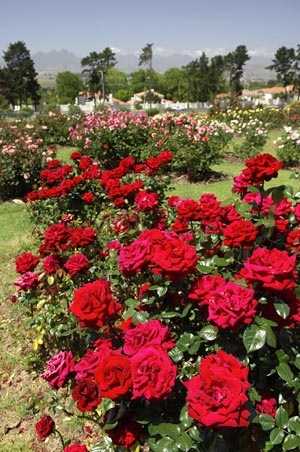 The Queen of blooms: The Durbanville Rose Garden boasts 4,500 rose bushes