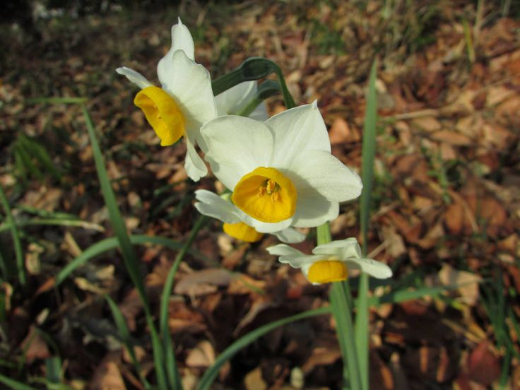 tt64jp posted a photo:  ニホンズイセン Paperwhite (Bunch-Flowered Daffodil)