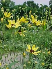 Coreopsis tripteris is a species of flowering plant in the aster family, Asteraceae. It is native to eastern North America. Its common names include tall tickseed, tall coreopsis, and Atlantic coreopsis. Wikipedia