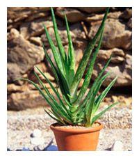 Planta de Aloe Vera en una maceta
