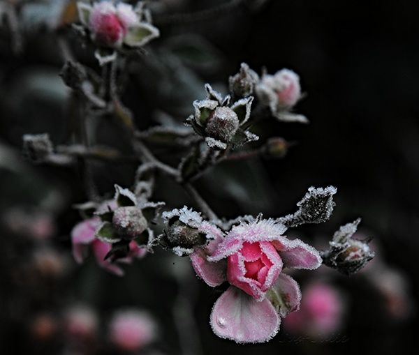 Roses and frost ... on Behance