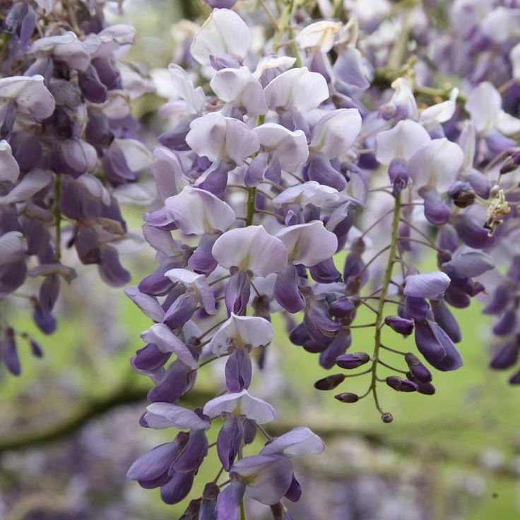 Chinese wisteria Wisteria sinensis 'Amethyst' Chinese wisteria