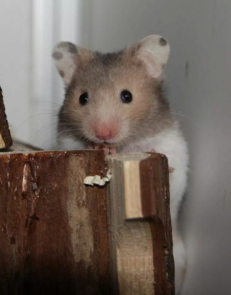 17 best images about hamster on pinterest long haired hamster russian blue and pets. Black Bedroom Furniture Sets. Home Design Ideas