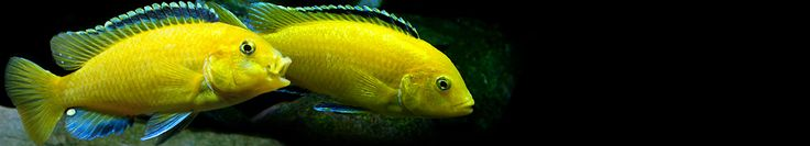 CICHLID QUICK BREAK DOWN --EXCELLENT LONG LIST OF CICHLIDS W PIX AND INFO --article -- aquarists usually divide the Cichlid species into three main groups