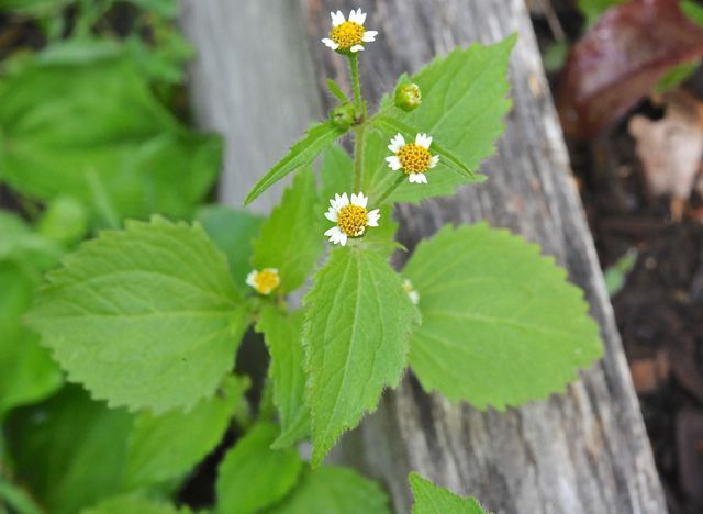 I'm learning to ID my weeds: hello, Galinsoga. Look familiar?