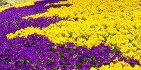 Fioriture primaverili multicolori