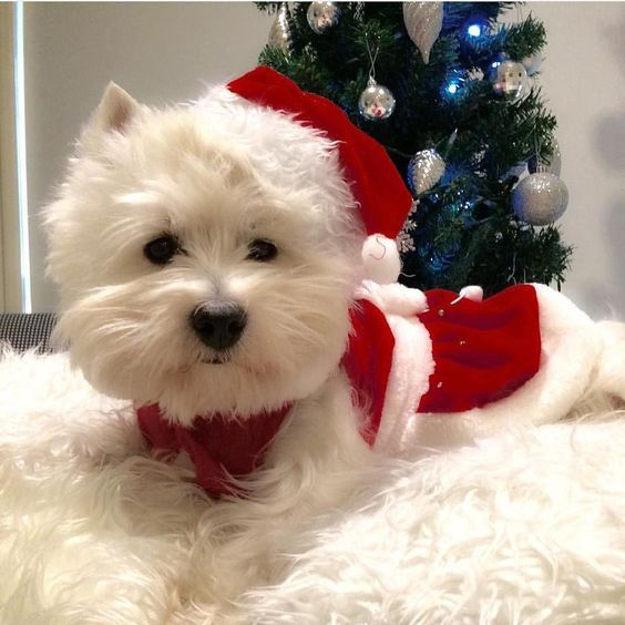 Merry Christmas from @emma_the_westie #lacyandpaws by lacyandpaws | #lacyandpaws | Pinterest