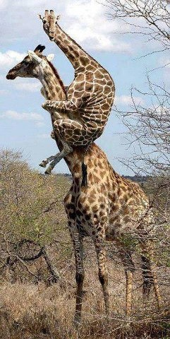 A very rare sight ever - Baby giraffe is getting a back ride from Mommy giraffe! ^-^