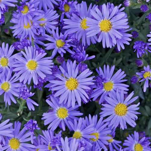 Aster dumosus 'Lady in Blue' - herfstaster - Vaste planten | Maréchal. Different colours, fall flowers (herfst asters). August, September October.