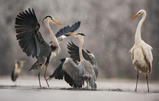 Grey Heron by Bence Máté