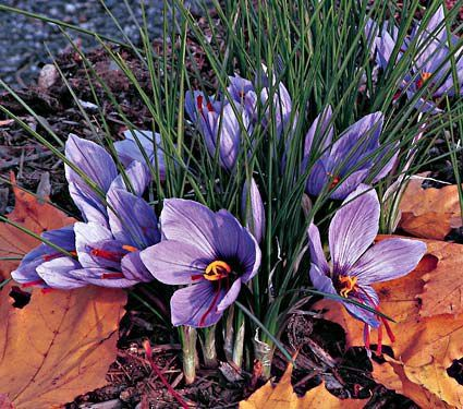 Grow your own saffron to use in cooking! We rarely think of bulbs as edible, but this showy fall-blooming Crocus is the source of saffron.