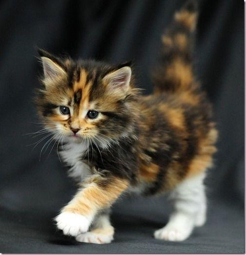 fluffy calico cat - photo #16