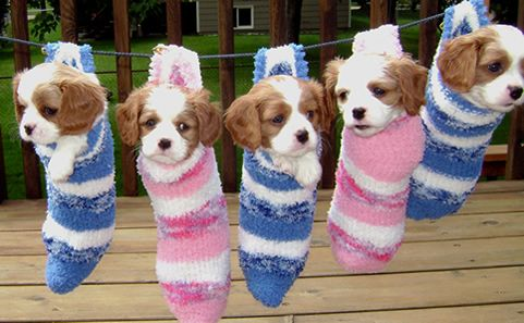 Cavalier King CharlesSongs Lists, Cavalier Puppies, Songs Hye-Kyo, Christmas Stockings, Christmas Mornings, Cavalier King Charles, King Charles Cavalier, Cute Clothes, King Charles Spaniels