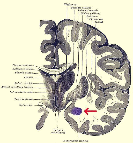 Τομή του εγκεφάλου. Η αμυγδαλή εμφανίζεται με μοβ χρώμα.