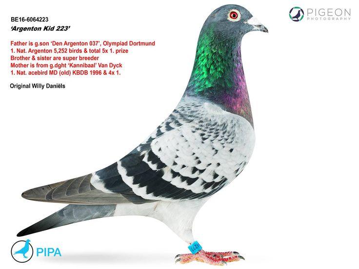 Argenton Kid 223 | PIPA