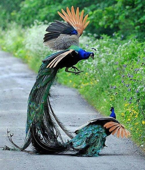 Protecting the Territory - Peacock Fight among Adults