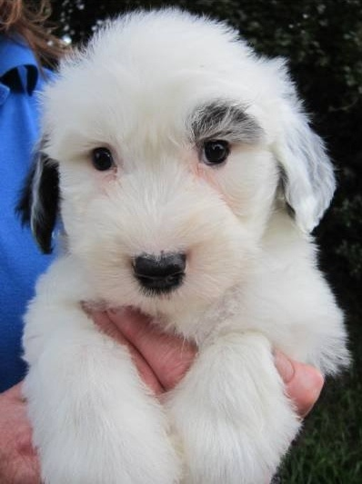My Baby Girl - Little Nell (Nelly) - Old English Sheepdog