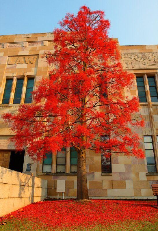 Illawarra Flame Tree - Brachychiton acerifolius - At University of Queeensland