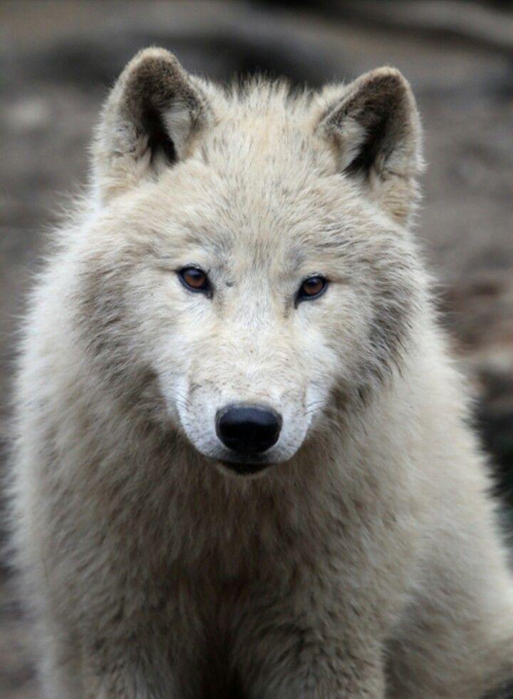 Retrato del lobo Ártico.