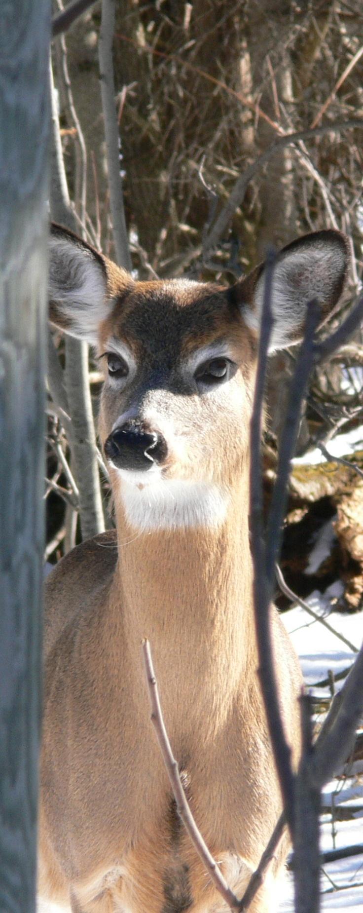 White tail deer..Doe