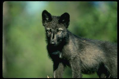 ArticWolf's Den: Wolves...Gray Wolf