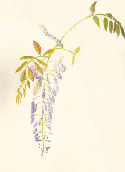 The first time I saw a mature wisteria in bloom, I was surprised to see that the young leaves were a bronze color. I loved the combination of bronze leaves and the lavender color blooms.
