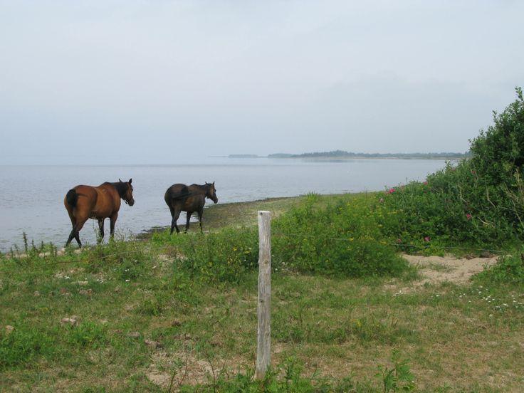 Nissum Fjord, Denmark horses