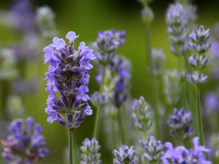 Az évente elvégzett szakszerű metszéssel elérhetjük, hogy a levendula szebb legyen, több, intenzívebb illatú virágot hozzon, miközben a növény nagyságát és formáját is tetszés szerint...