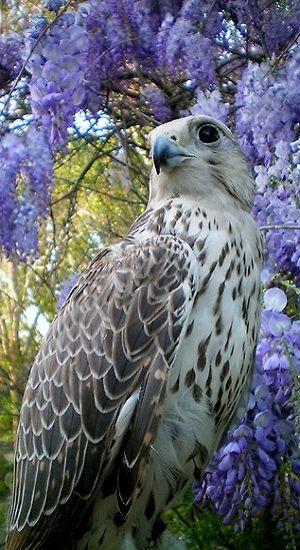 El halcón mexicano o halcón pálido (Falco mexicanus) Muy similar en apariencia al halcón peregrino. Se distingue al ser su plumaje más claro. De longitud logra entre 38 y 45 cm; alas hasta 1 m de envergadura, y 750 g de peso.