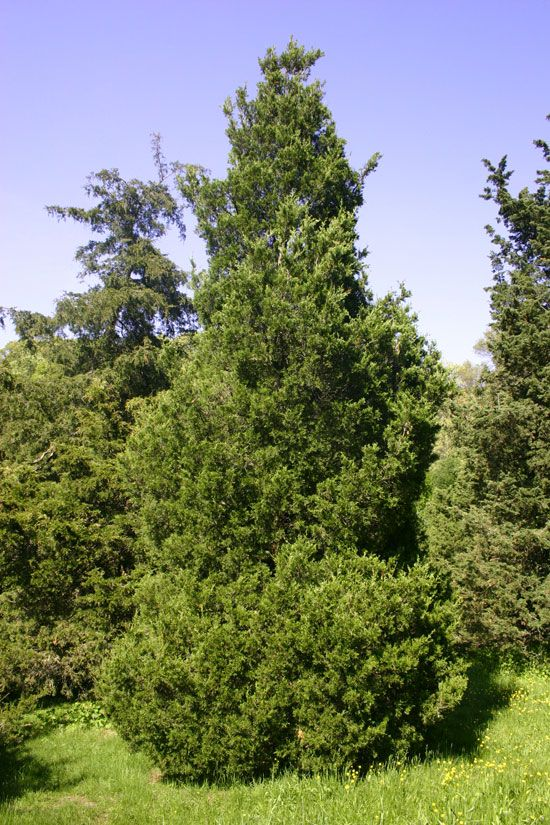 Best juniperus virginiana images on pinterest red