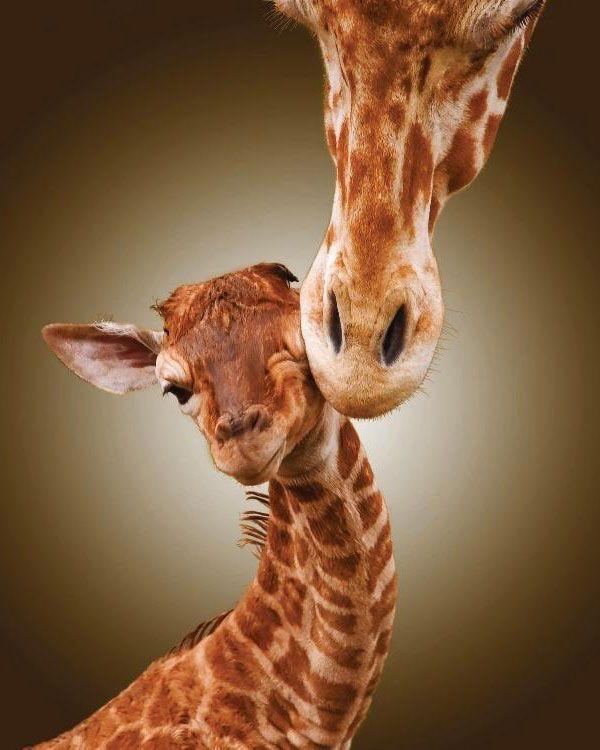 Giraffe Love, Sweet
