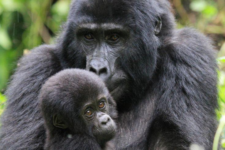 Gorilla di montagna.Uganda.foto di Anna Alberghina.collezione A&A Italia.