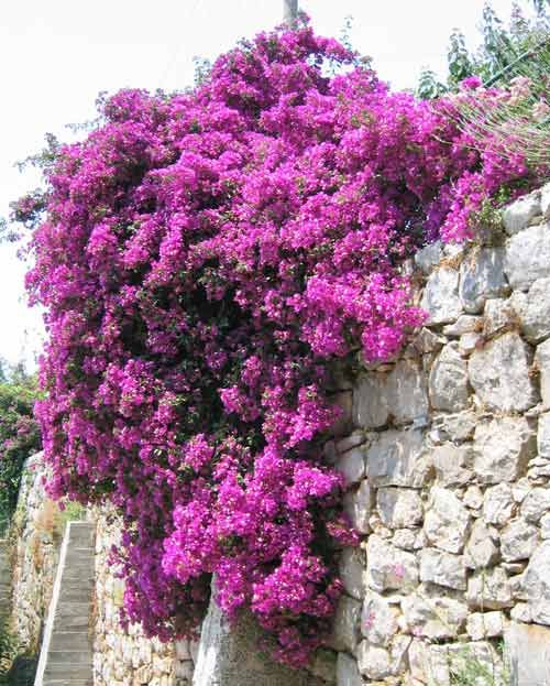 This is the color of the bouganvillia in my summer windown boxes.