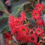 Australian Native Garden Designs | Landscape Ideas Flowering eucalypt