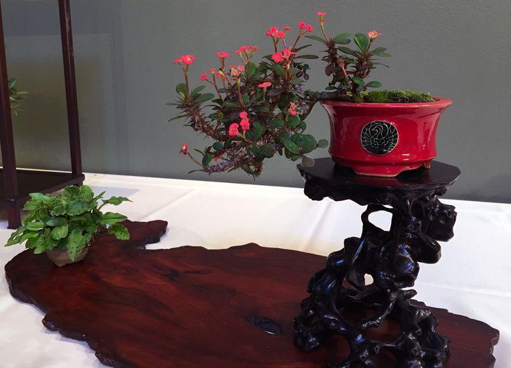 Mark Fields 5 Point Display Bonsai