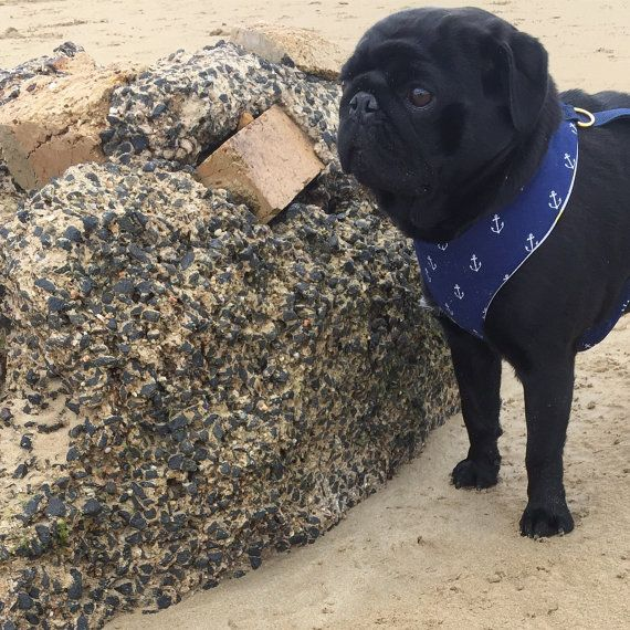 Anchor Dog Harness - Modeled by Winston the Pug